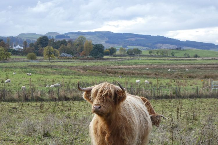 Highland Cows Grazing On Field