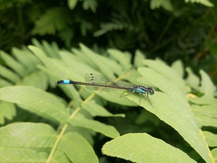 Bodnant GardeBodnant Gardens Nature Photograhy Mayfly Blue Color Wings EyEmNewHere Nature Photography