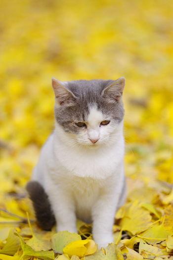イチョウを撮りに行ったのに、そこにいた子猫撮りの方が楽しかったり。(笑) Cat Sitting Yellow One Animal Animal Cute いちょう 銀杏 Ginkgo Leaves Yellow Leaves