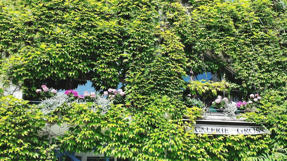 Efeu Efeu Bewachsene Fassade Hausfassaden Halle (Saale) Former Gdr German Democratic Republic Green Green Green!  Old Buildings