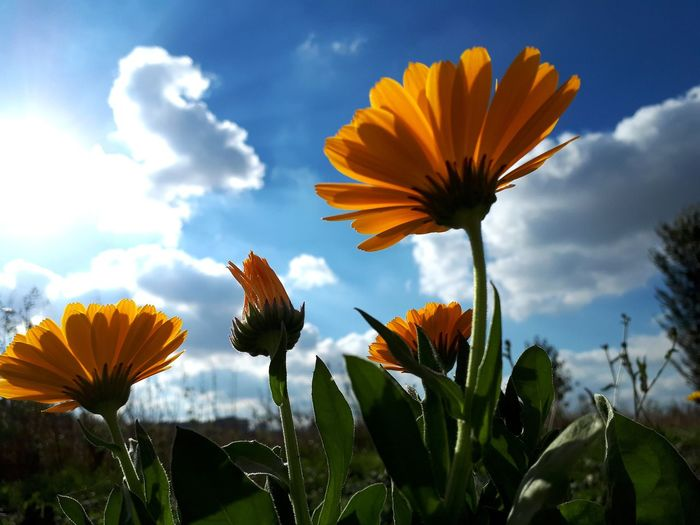 Orange Color Yellow Color Orange Flower Yellow Flower Blue Sky Clouds And Sky EyeEm Selects Flower Head Flower Rural Scene Beauty Uncultivated Petal Poppy Blossom In Bloom Plant Life Blooming Wildflower