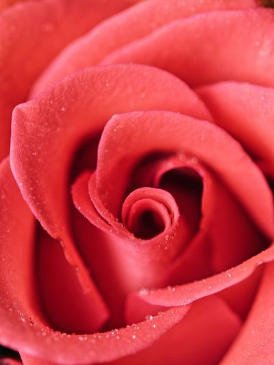 Rose Full Frame Red Close-up No People Backgrounds Indoors  Rosé Textile Pattern Pink Color Sweet Food Flower Rose - Flower Spiral Plant Beauty In Nature Nature Freshness Flowering Plant