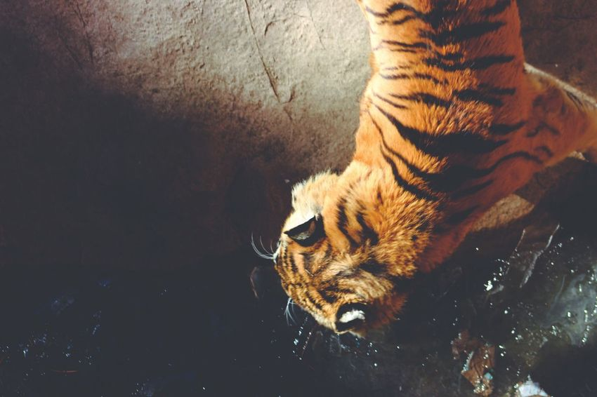 WOW Love Majestic Russia China Tiger Animal Themes One Animal Mammal Animals In The Wild High Angle View Animal Wildlife Domestic Animals Close-up Water Outdoors Nature Day No People