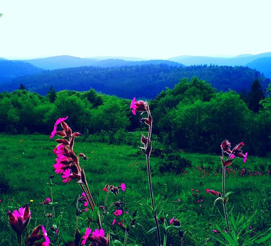 Growth Nature Plant Scenics Beauty In Nature Flower Field Tranquility Poppy Landscape Mountain Outdoors No People Day Green Color Sky Lush - Description Tree Freshness