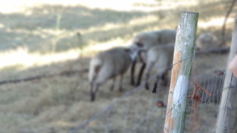 Farm Sheeps Relaxing Enjoying Life Hi! Silent Moment
