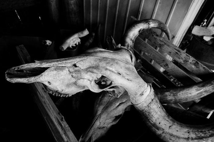 Work Fort Worth Animal Bone Animal Skull Black And White Blackandwhite Close-up Day No People Skeleton Watusi