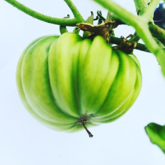 Gardening ❤️ Nature Photography of Green Tomatoes 🌱 Green Green Green!  Nature_collection In My Garden Beauty In Nature EyeEm Best Shots - Nature Springtime in Denmark My Best Photo 2015 Awesome Colors Check This Out