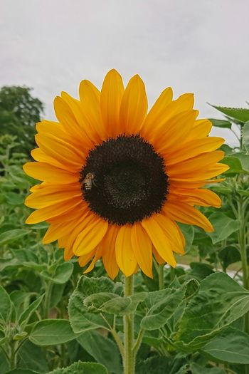 Flower Yellow Petal Fragility Flower Head Freshness Sunflower Nature Rural Scene Beauty In Nature Field Growth Close-up Outdoors No People Sonnenblume Sunflower Sunflowers Bee Bees And Flowers Bee Collecting Pollen Hello World Hello Hi Freshness