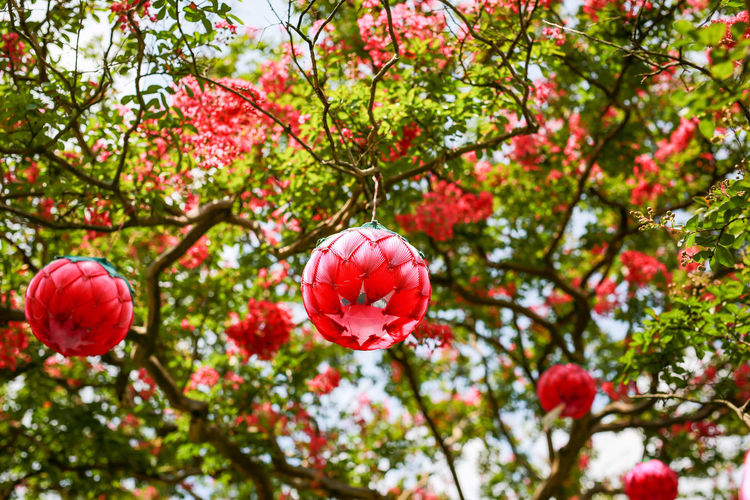 Low angle view of red lanterns hanging on branches