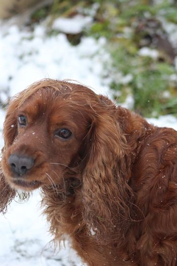 Animal Head  Animal Themes Brown Cocker Spaniel  Cockerspaniel Little Dog Nature One Animal Outdoors Red Hair Redhead Snow Snow Time Snowing Winter Wintertime