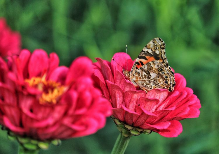Beauty In Nature Butterfly Blooming Flower Vibrant Colors Day Outdoors Close-up Selective Focus