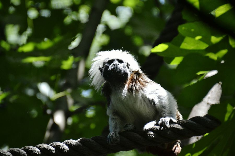 Back to the future doc Animals Nature saguinus oedipus, critically endangered species. Nature is incredibly beautiful, it is our duty to respect and protect. Animal Themes Close-up Animal Beauty In Nature No People Saguinus Oedipus