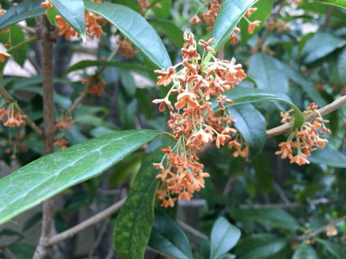 Kyoto,japan Osmanthus Fragrans Var. Aurantiacu Autumn Flower Autum Flowers Fragrant Orange-colored Olive Osmanthus Fragrans Lour. Var. Aurantiacus Makino Kinmikusei 金木犀 Kyoto, Japan Autumn Fragrans Flower