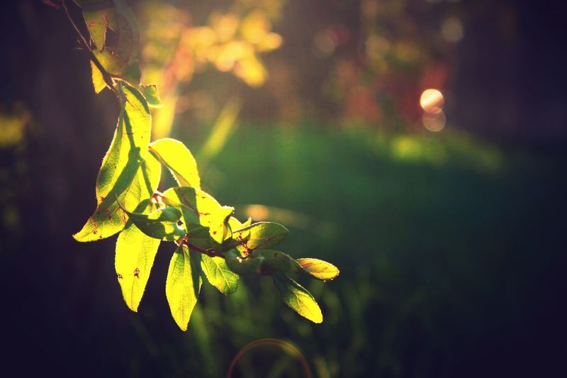 Hurry up summer Leaves Vine Nature EyeEmNewHere Plant Growth Focus On Foreground Leaf Plant Part Beauty In Nature Close-up Green Color No People Tranquility Yellow Freshness Day Outdoors