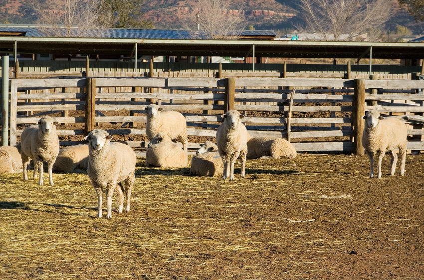 Staring sheep Livestock Animal Themes No People Domestic Animals Sheep Large Group Of Animals Flock Of Sheep Mammal Outdoors Ranch Life Rural Scene Staring At Me Staring Contest Agriculture Farm Animals Wool Baa Sheep Farm Farm Herd Large Group Of Animals Livestock Staring At You