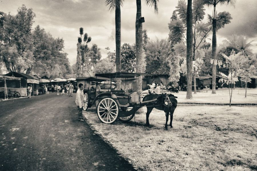 Delman Transportation Tree Horse Road One Animal Working Animal Riding Empty Horsedrawn Horse Cart Mode Of Transport Full Length Land Vehicle Day Tree Trunk Mammal Domestic Animals Livestock Herbivorous Outdoors Infrared Photography Infrared