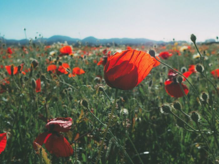 Poppies EyeEm Nature Lover Open Edit Beauty In Nature Nature Red Flower Light And Shadow Poppies  Springtime Nature_collection The Great Outdoors With Adobe The Great Outdoors - 2016 EyeEm Awards