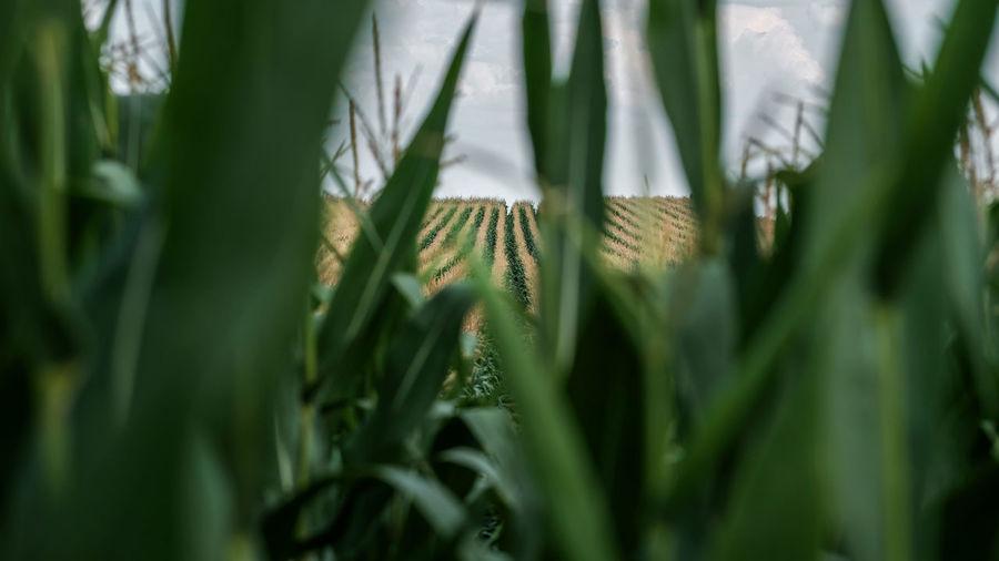 Close-up of fresh crop in field