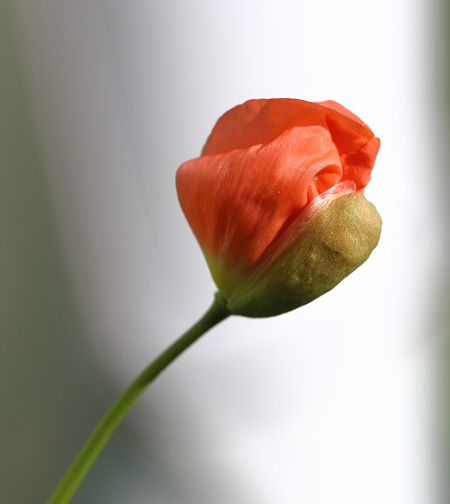"""""""Hatching"""" alpine poppy bud. Alpenmohn Alpine Poppy Beauty In Nature Botany Bud Close-up Nature's Diversities Flower Flower Head Fragility Freshness Copy Space Growth Hatching In Bloom Pivotal Ideas Papaver Alpinum Petal Poppy Red Stem Transition Transitional Moments Unfolding White"""