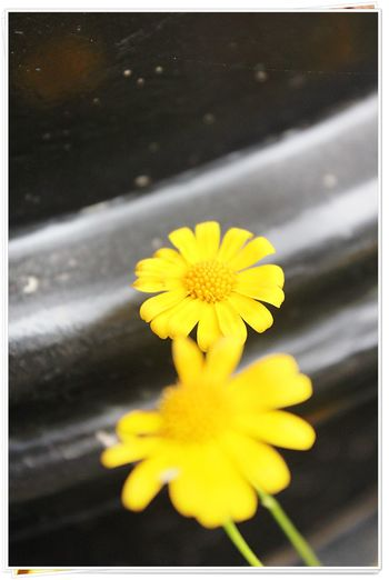 Auto Post Production Filter Beauty In Nature Blooming Blossom Close-up Day Flower Flower Head Focus On Foreground Fragility Freshness Growth In Bloom Nature No People Outdoors Petal Pollen Selective Focus Single Flower Soft Focus Springtime Transfer Print Vibrant Color Yellow