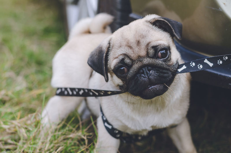One Animal Dog Canine Animal Themes Domestic Animals Pets Mammal Domestic Animal Vertebrate Looking At Camera Portrait Focus On Foreground Day Young Animal Puppy Lap Dog Close-up Field Pug No People Small Pug