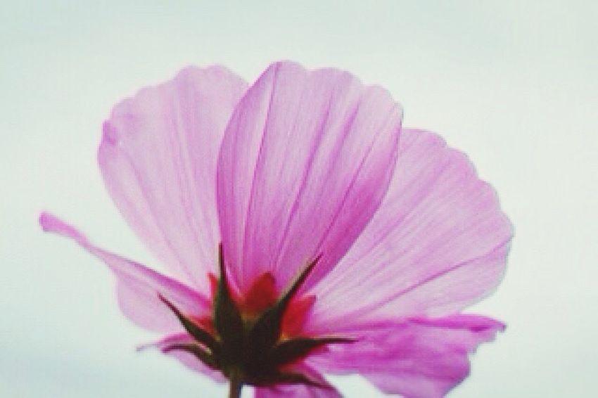 秋桜 コスモス 花 Flower やっぱり秋桜が好き