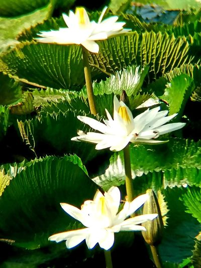 Beauty In Nature Close-up Day Flower Flowering Plant Freshness Green Color Leaf Leaves No People Outdoors Plant Plant Part White Color
