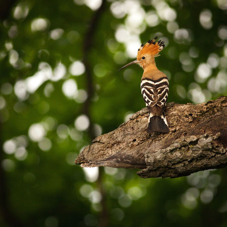 Wildlife photography of a hoopoe from a forest near Bistrita, Romania. Green Tree Animal Animal Themes Animal Wildlife Animals In The Wild Background Beauty Bird Branch Close-up Focus On Foreground Forest Hoopoe Nature One One Animal Outdoors Single Summer Wild Wildlife Woods