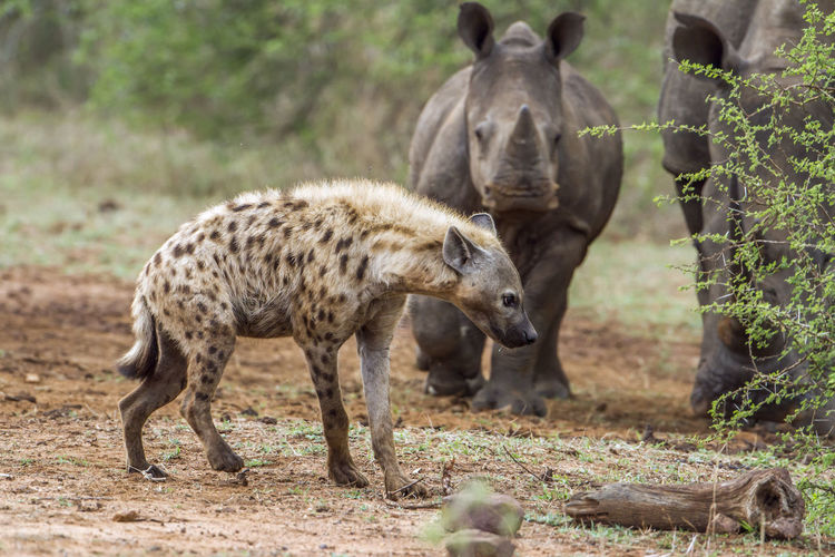 Hyena and rhinoceros on land in forest