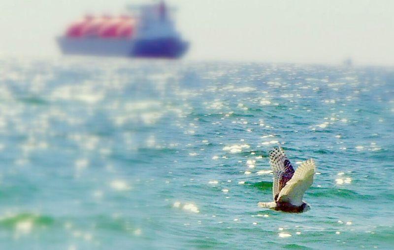 Skagen, Denmark Capturing Movement Capturing Freedom Freedom Denmark Skagen Sne Ugle Birds Fugl