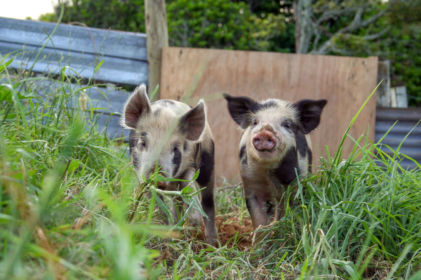 Two piglets foraging in the mud in their pen. New Plymouth, New Zealand. Farm Animals Pigs Animal Themes Cute Animals Day Foraging Foraging For Food Grass Happy Pigs Lifestyle Block Looking At Camera Mammal Nature No People Outdoors Pets Pig Pen Pig Sty Piglet Piglets Togetherness Two Animals Young Animal