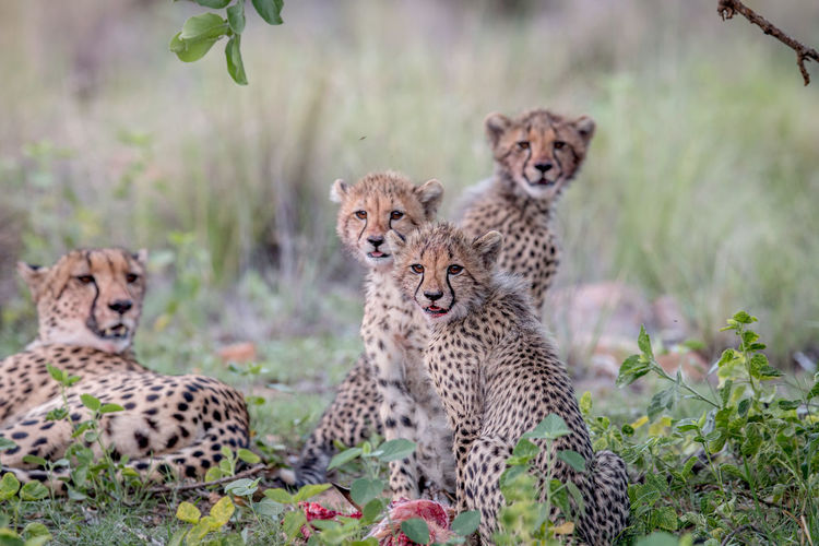 Cheetah cubs starring at the camera in the Welgevonden game reserve, South Africa. Nature Animal Animals In The Wild Wildlife Wildlife & Nature Nature Photography Africa African Safari Safari Animals Safari Beauty In Nature Travel Wildlife Photography Animals Animal Themes African Cheetah Acinonyx Jubatus Cat Mammal Big Cat Endangered Species Kruger Park Young Cubs