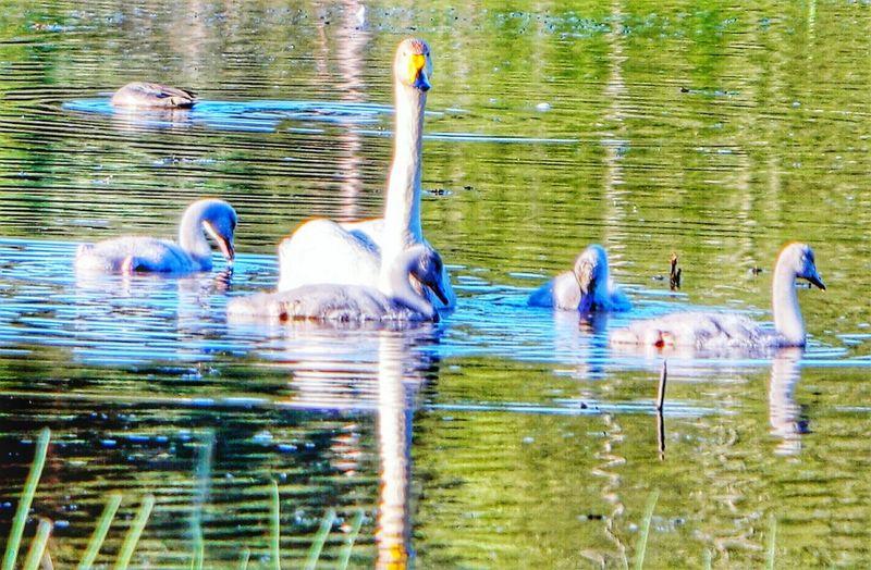 Close-up Beauty In Nature Swan Lake Swans ❤ Littoisten Järvi