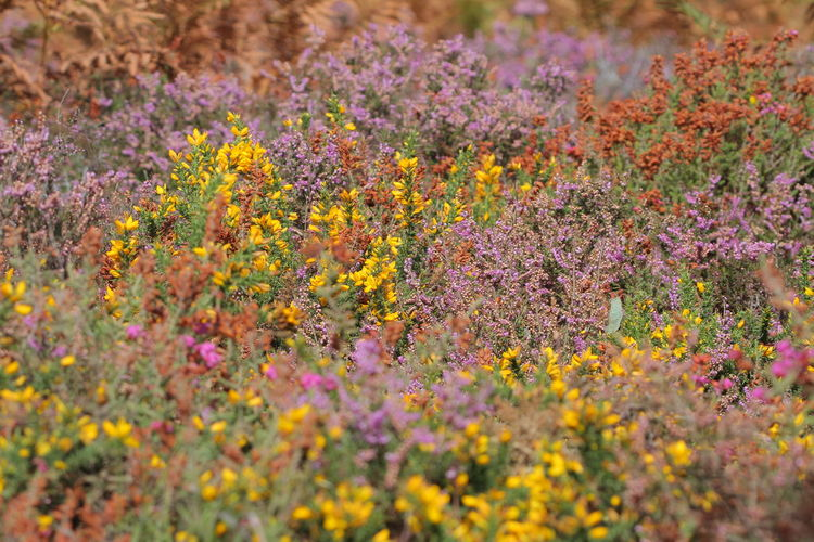 Beauty In Nature Bretagne Bruyeres Day Flower Flower Head Flowerbed Freshness Genêts Growth Landes Multi Colored Nature No People Outdoors Plant Purple Summer Wildflower Yellow
