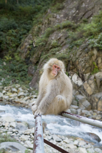 Japanese Macaque also known as Snow Monkey in Nagano prefecture, Japan Ape Japan Japan Photography Monkeys Nature Snow Monkey Animal In Captivity Chillin Cute Cute Animal Cute Animals Japanese Macaque Macaque Mammal Monkey Monkey Business Nagano One Animal Outdoors Outdoors Photograpghy  Wildlife The Great Outdoors - 2018 EyeEm Awards