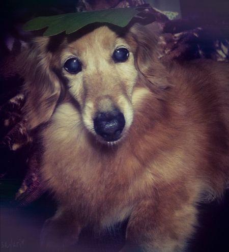 かしわん Smile Cute Love Photography Japan Photography Japan Dog Dachshund Mypet