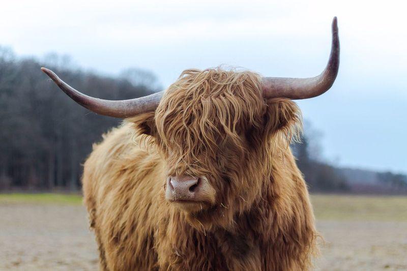 Close-up of bull