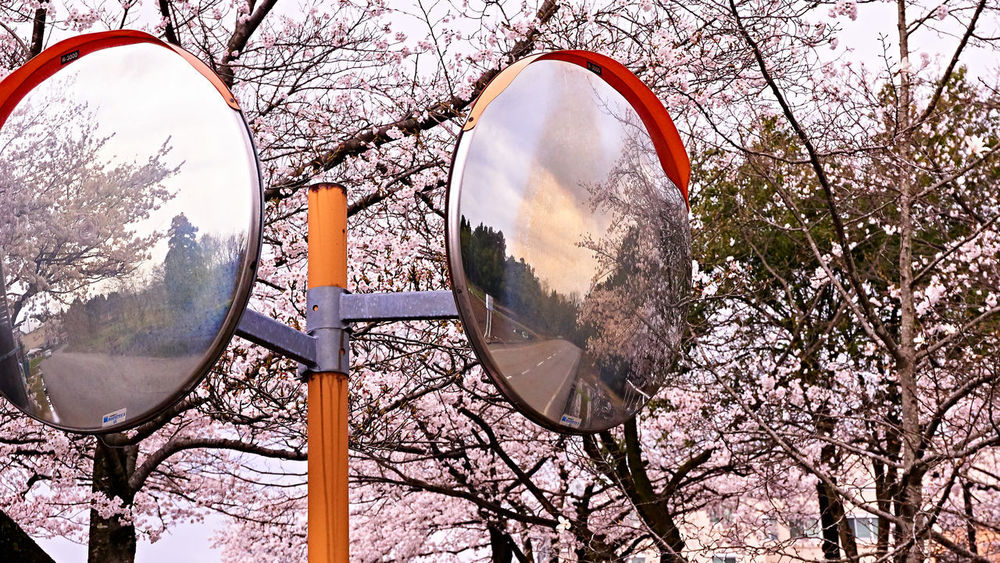 Traffic mirror with sakura. Cherry Blossom Cherry Blossoms Happy Pink Sakura Branch Cherry Blossom Cherry Tree Circle Color Convex Mirror Day Don't Forget Growth Metal Nature No People Outdoors Photography Plant Shape Sphere Springtime Traffic Mirror Tree