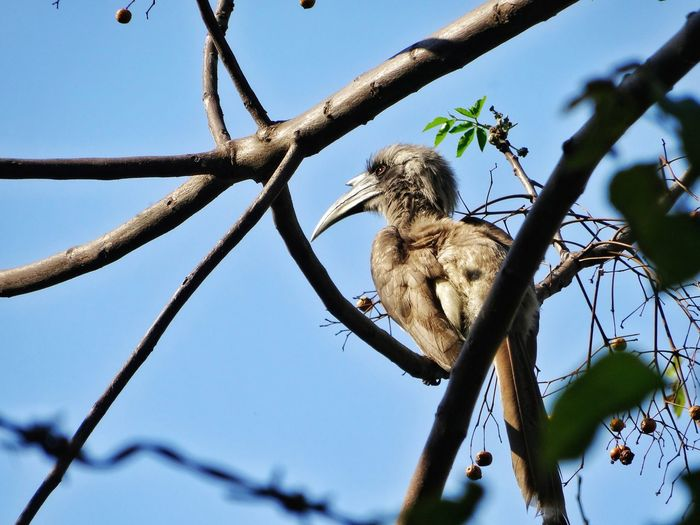 Grey Hornbill Bird Tree Clear Sky Branch Low Angle View Nature No People Beauty In Nature Close-up EyeEm Nature Lover Eyeembirdlover