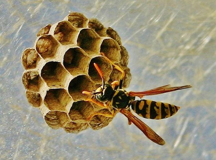 Wasp At Work Wasp Nest Wasp Close Up Nature Macro_collection Macro Photography Macro Macro Nature Macro Insects Macro Beauty Macro Week Macro_art Macrophotography Insects Collection Insect Photography Insects  Insect Macro