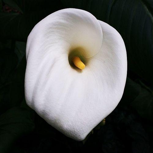 #spring has sprung! #callalily #flower #ucberkeley