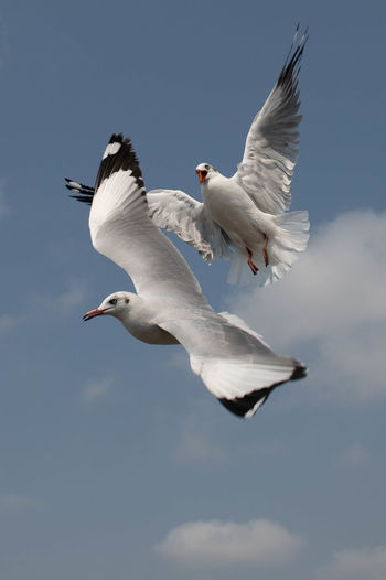 Seagull flying on beautiful blue sky and cloud catching food in the air.