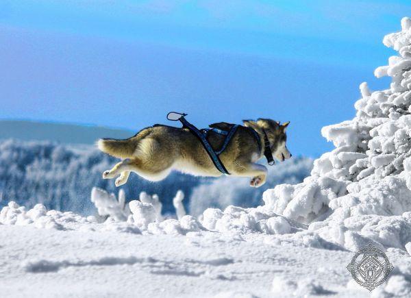 Siberian Husky Husky Animal Snow ❄ Nature Huskies Mountain Mushing Dog First Eyeem Photo