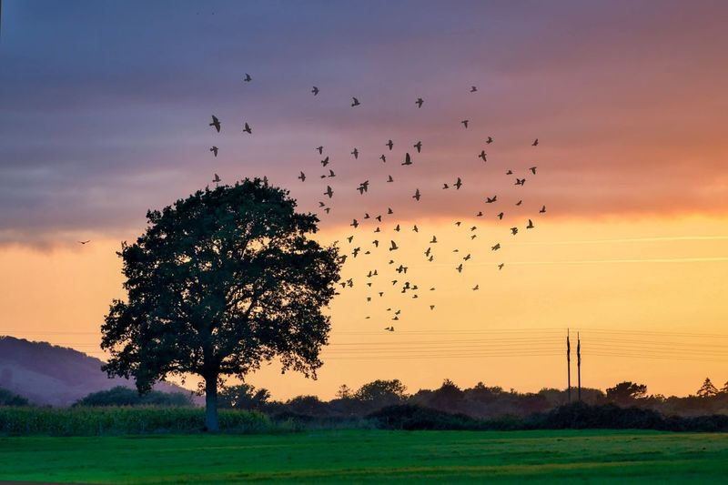 Silhouette birds flying over field against sky at sunset