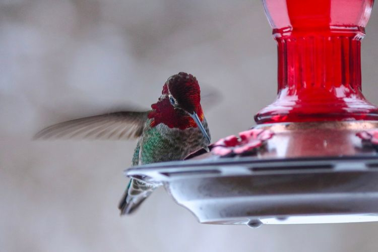 Red No People Close-up Indoors  Animal Themes Bird Table One Animal Nature Hummingbird Animal Selective Focus Glass - Material Feather