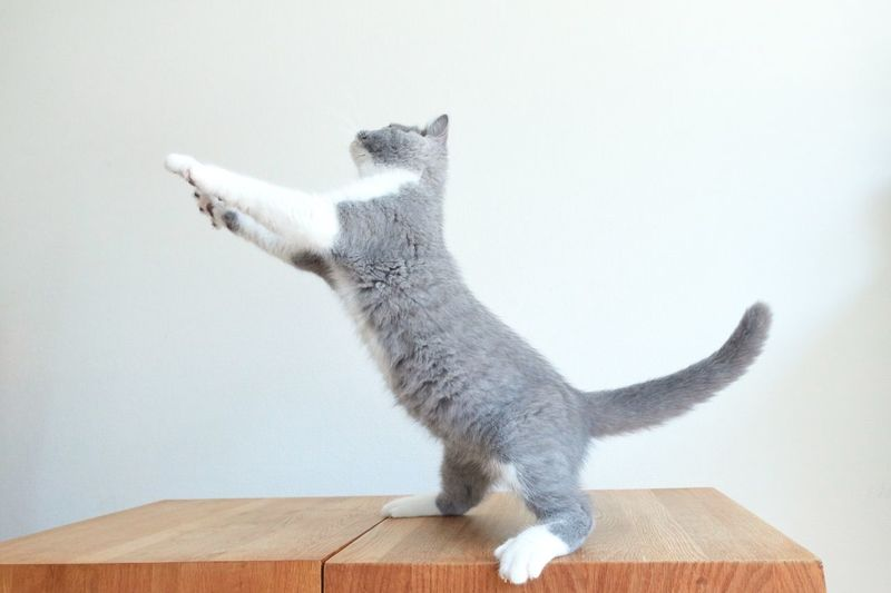 Cat jumping in the air Jumping Animal Animal Themes One Animal Mammal Vertebrate Indoors  Cat Pets Feline My Best Photo