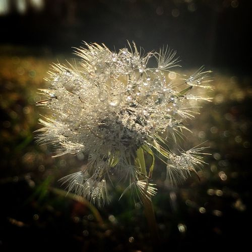 Ios Photography Morning Frost Winter Wonderland Beauty In Nature Ios Photography Morning Frost Winter Wonderland Beauty In Nature Plant Close-up No People Freshness Dandelion Fragility Focus On Foreground Outdoors Dandelion Seed