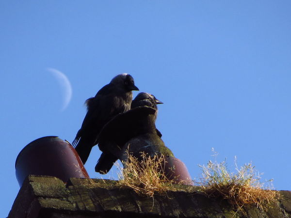 Jackdaws on the chimney with the moon Birds Blue Sky Chimney Chimney Pot Crescent Moon Grass Jackdaws Moon Together Wildlife