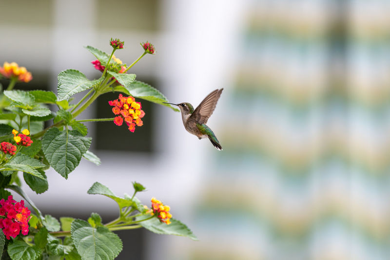 Close-up of humming bird pollinating on flower