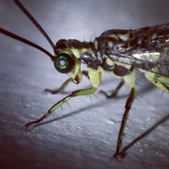 Siap seruduk kaya banteng. Insect Insect_perfection Tgif_insects Tgif_macro KINGS_INSECTS